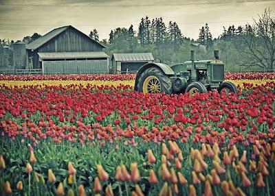 hoa tulip 6