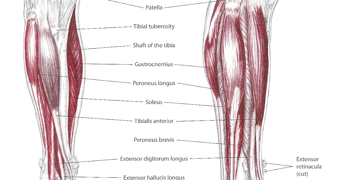 Keeping In Touch Pathology And Massage Anterior Shin Splints