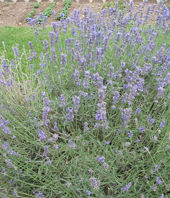 The lavender is a subshrub possessing great strength, an attractive color and a delicious aroma
