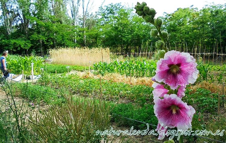 malva real con el jardín al fondo