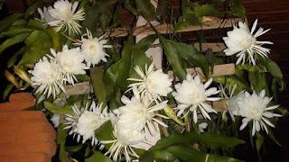 bunga putih wijayakusuma