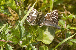 Grizzled Skippers mating
