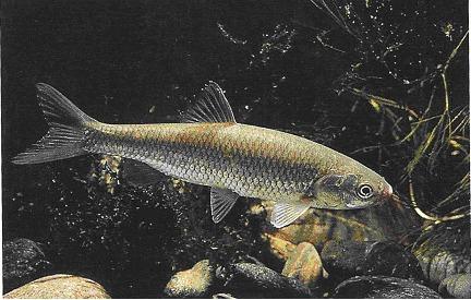 Laghetto di basiglio i pesci del laghetto di basiglio for Laghetto pesci