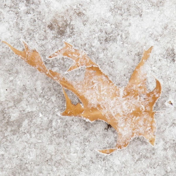 Frost On An Oak Leaf - Snow Photograph
