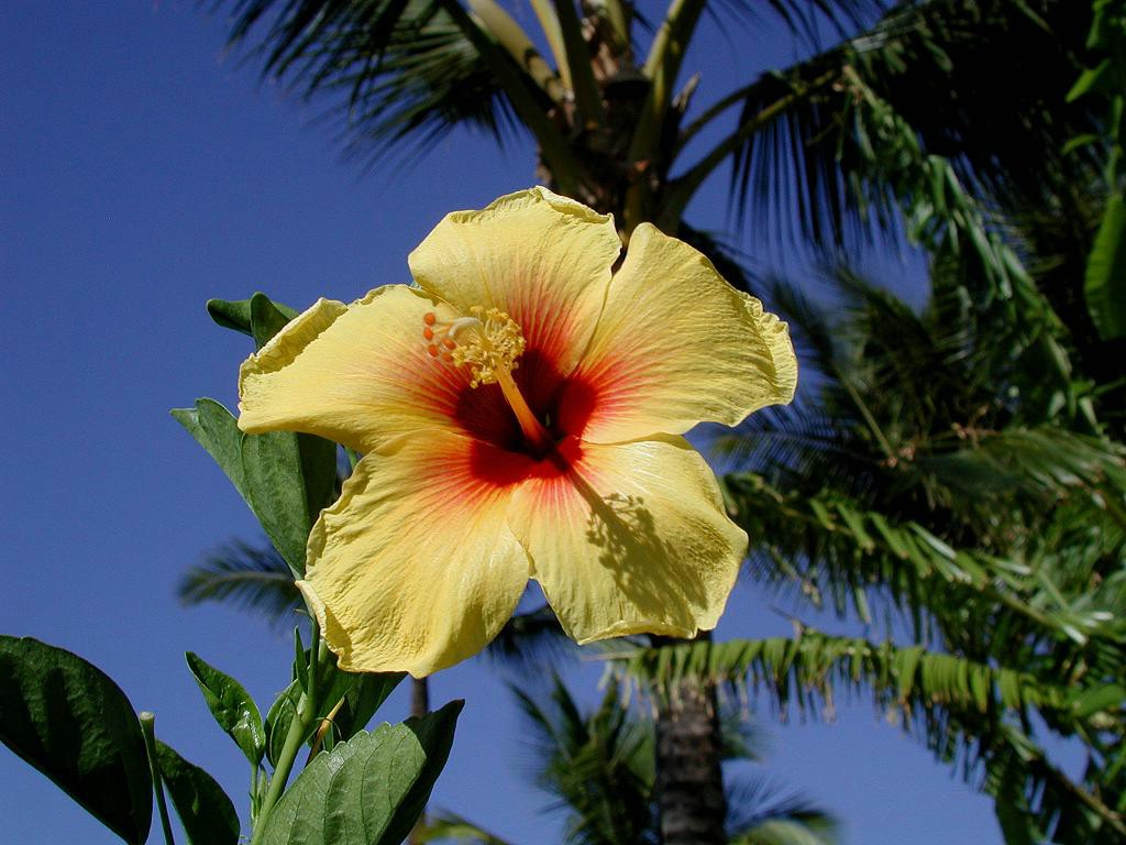 Flowers Wallpapers Hibiscus Flowers Wallpapers