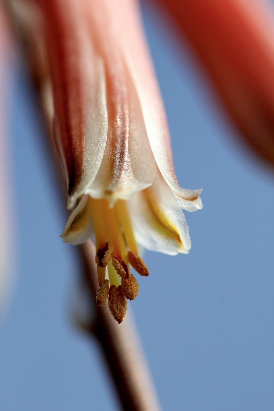 Aloe jucunda - Fleurs