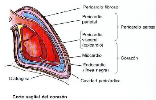 Libros de medicina: Anatomía y fisiología del corazón humano