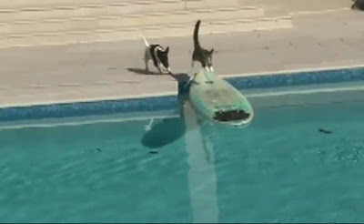 Cat escapes from dog with surprise leap onto surfboard (VIDEO)