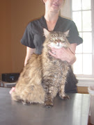 . us a demonstration or grooming on a beautiful Maine Coon cat who was in . cat grooming