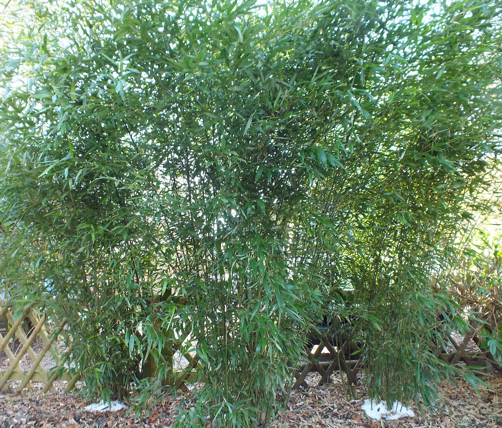bambus kamelien yuccas bambus nach dem frost 2012 die gewinner. Black Bedroom Furniture Sets. Home Design Ideas