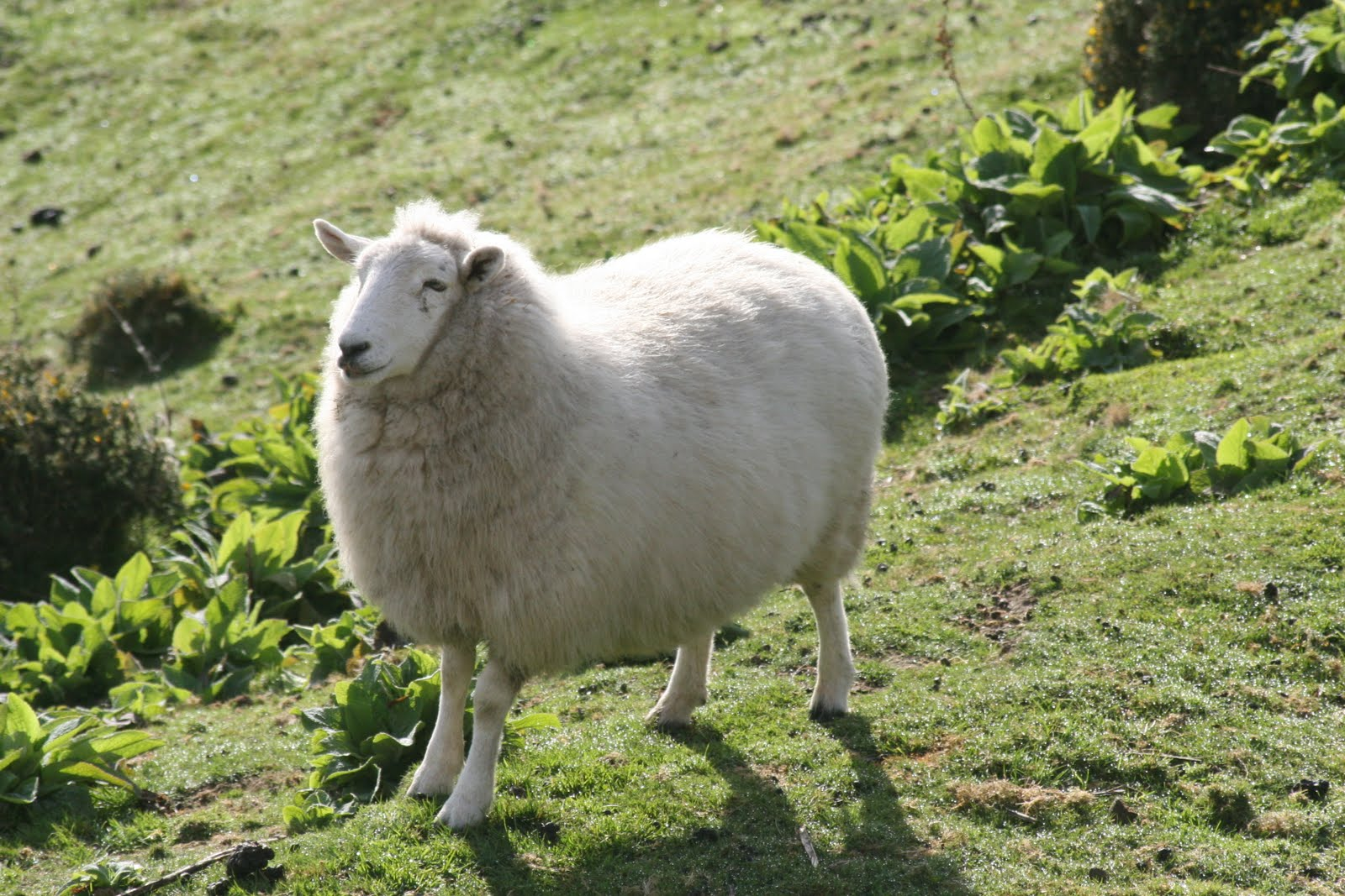 White Sheep | Dog Breeds Picture