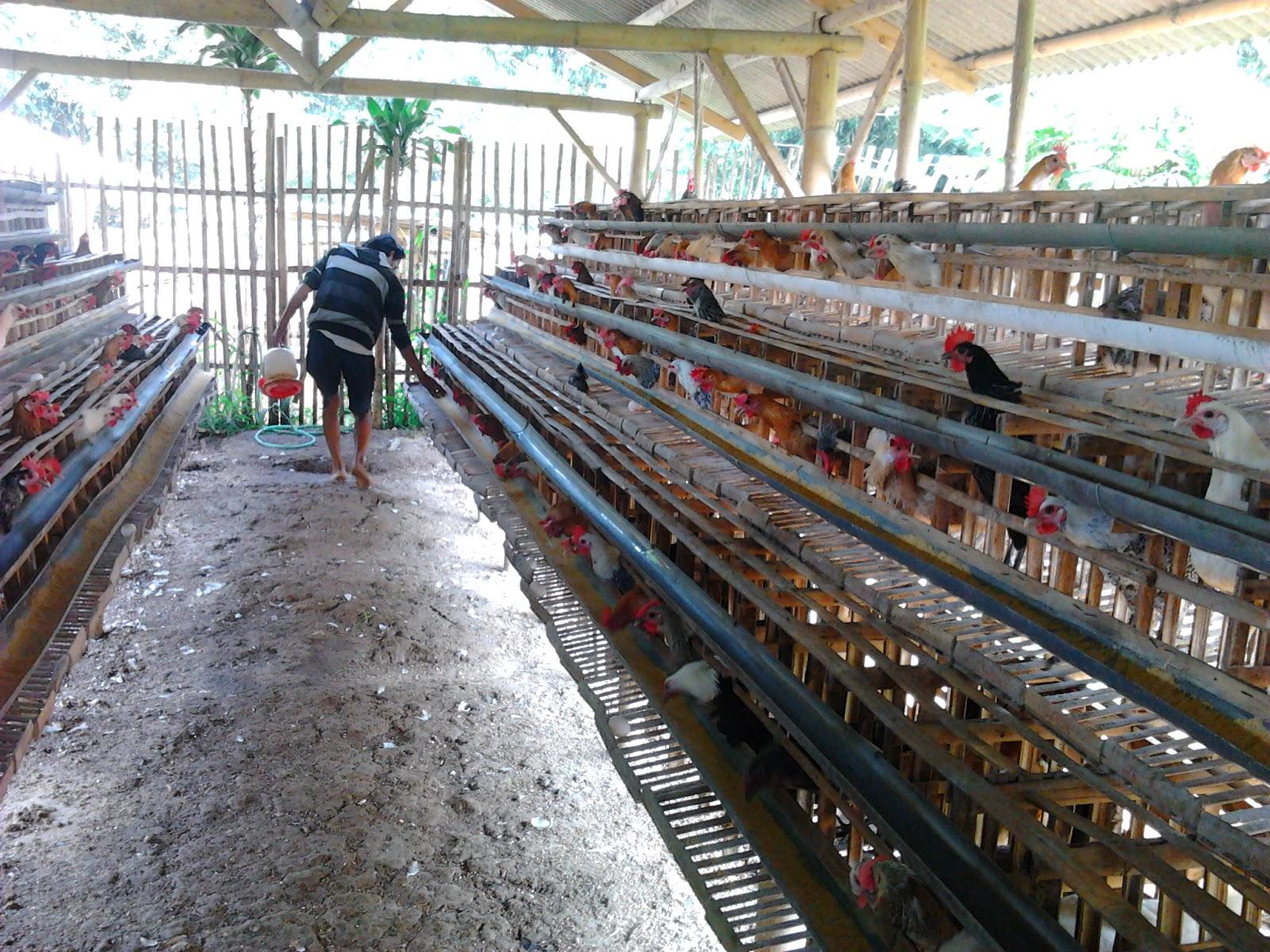 Anwar Peternak Ayam Petelur