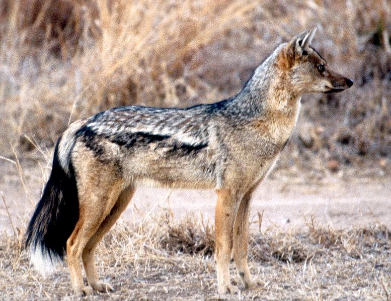the horror digest what is a jackal im glad you asked