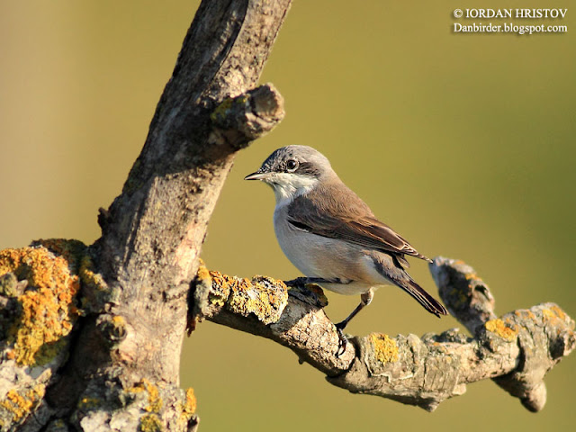 Lesser Whitethroat photography