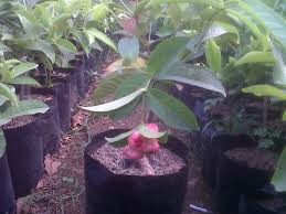 Jual pohon jambu air | pohon buah cangkokan