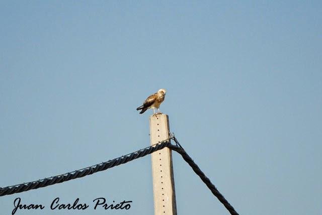 Excursión Grupo Local SEO-Sevilla SEO/BirdLife a las marismas de Doñana. Águila Culebrera