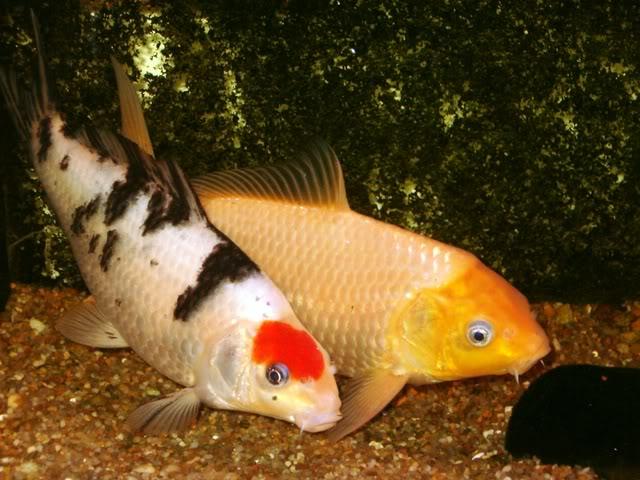Animais de cria o ornamentais carpa japonesa nishikigoi for Criadero de carpas