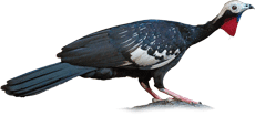 Cujubi | Red-throated Piping-Guan