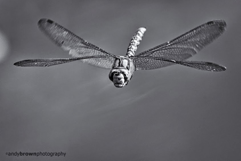 Flying Dragonflies