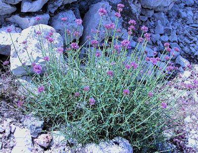 Centranthus lecoquii