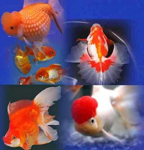 ... HIAS UNIK DAN LANGKA DALAM JUMLAH ECERAN SPT: Peacock Bass Aquarium