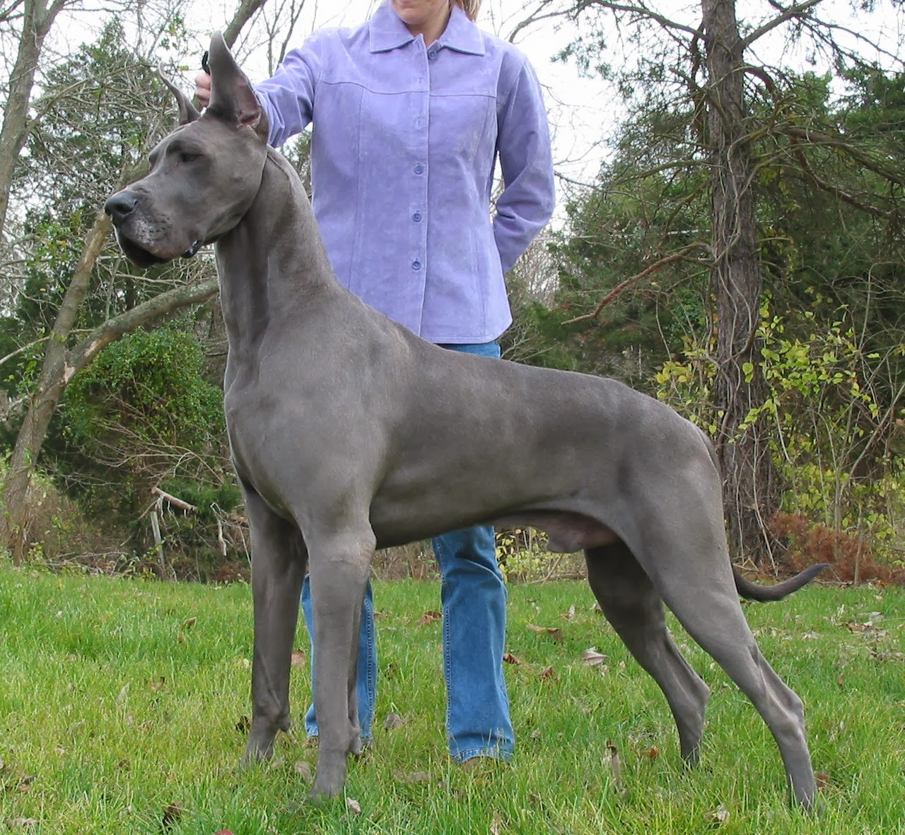 Rules of the Jungle: Facts About Blue Great Danes