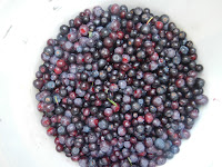 harvesting rocky mountain huckleberries