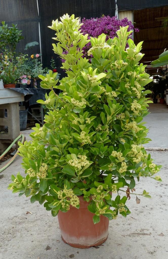 Viveros vangarden euonymus japonicus for Arbustos para macetas exterior