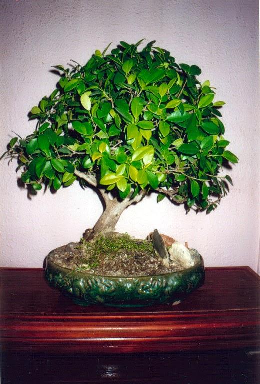 Plantas de regalo bonsai buxus - Plantas para bonsai ...