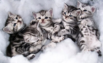 American Shorthair Silver Tabby Cat Pictures