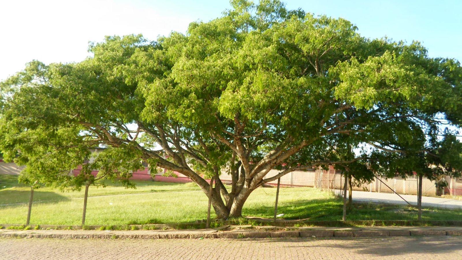 Bela árvore que embeleza nosso pátio
