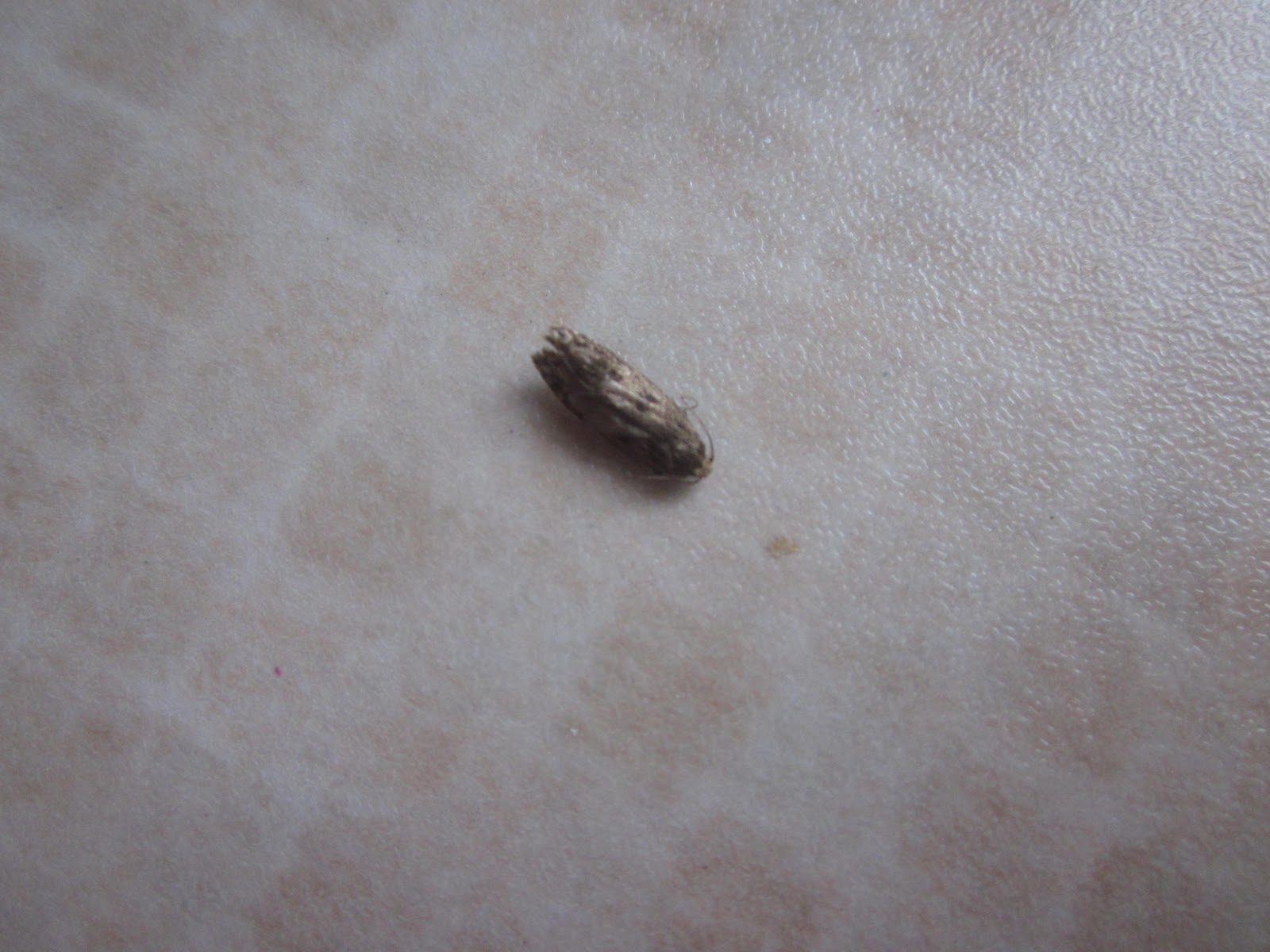 Brown flying bugs in house how do i get rid of those moth like bugs in - The Tiny Gold Coloured Moths With The Tell Tell Spots On Their Wings