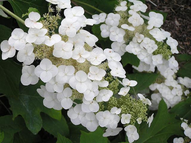 oakleaf hydrangea flower alabama