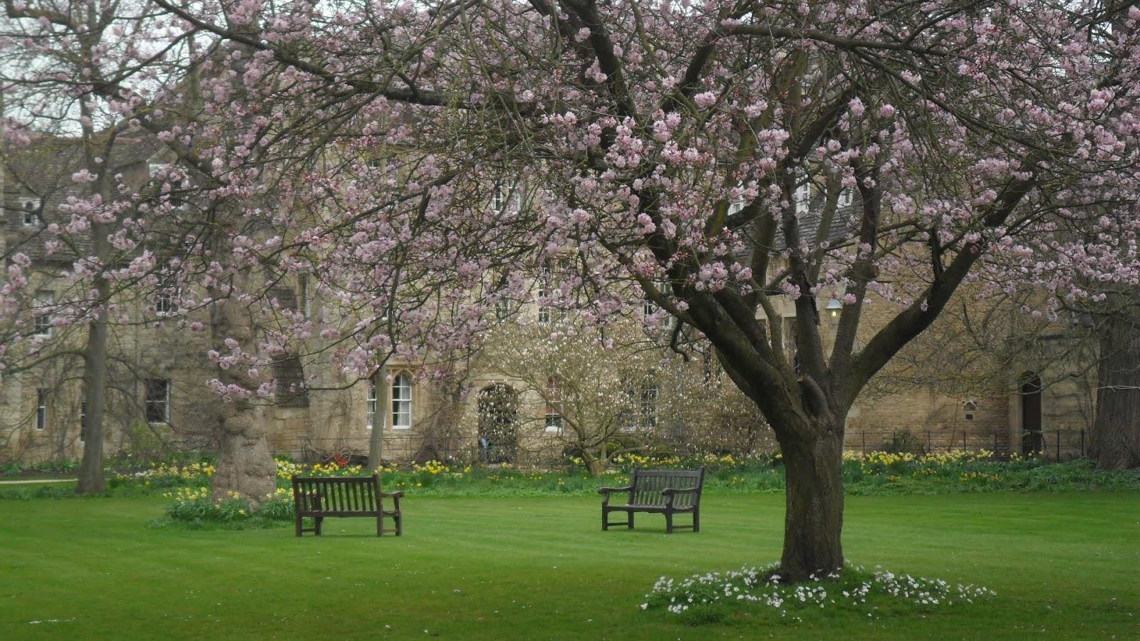 Worcester College Gardeners Anemone Blanda 39 White Splendour 39