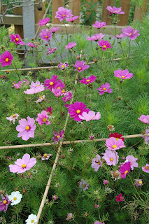 Cosmos, support the plant from the start and have months of flowers