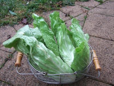 Jura - Garten: Ernte Im Januar Frische Salate Eigenen Garten Ernten