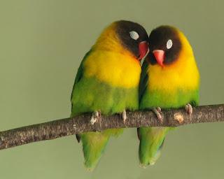 jenis kelamin love bird