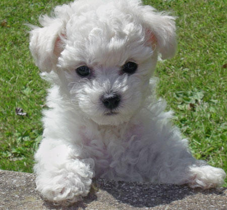 Bichon Frise Puppy Pictures Information