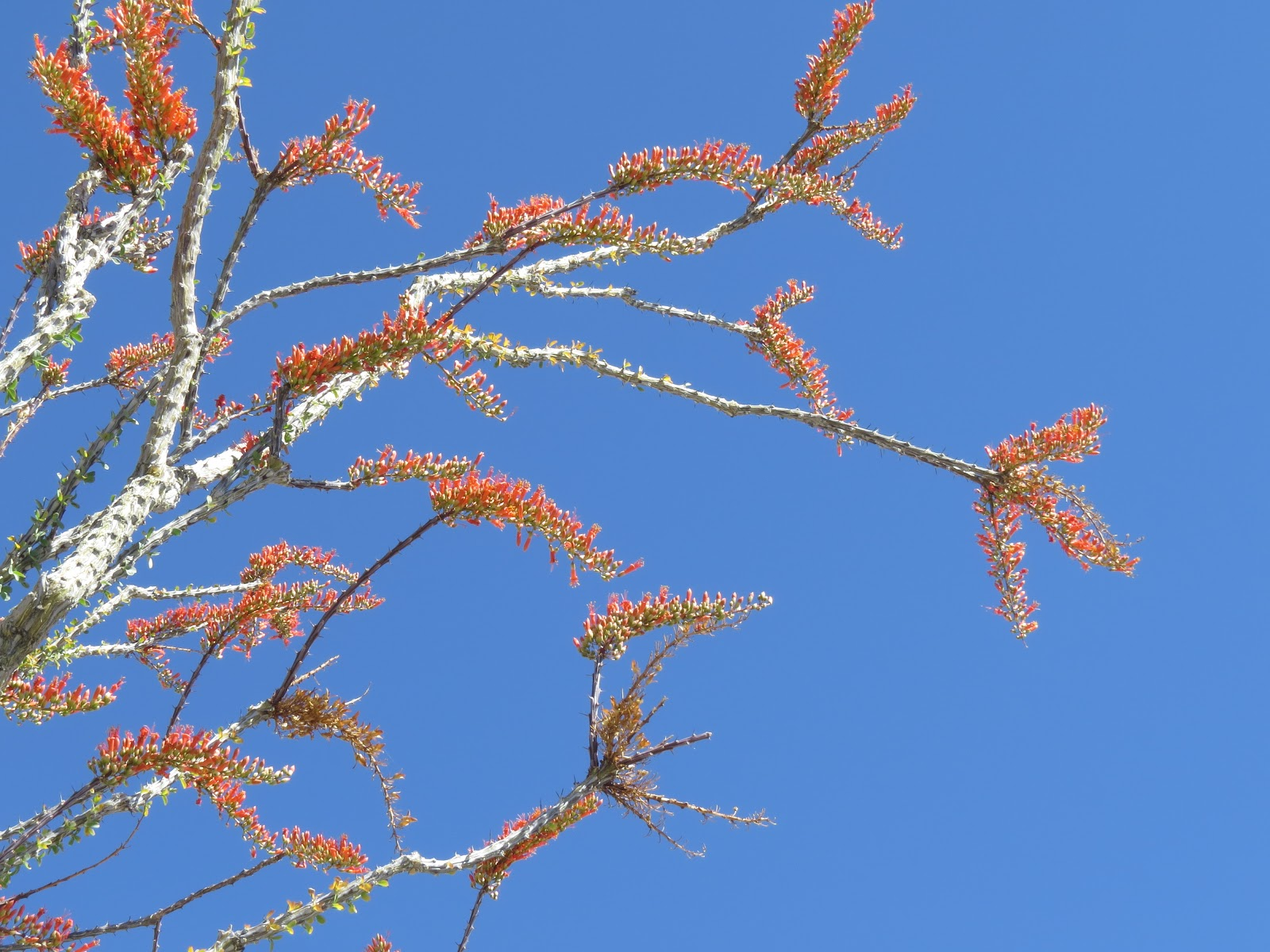 Joshua Tree National Park ocotillo blooms