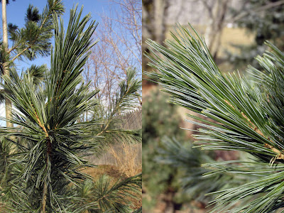 Vanderwolf's Pyramid limber pine with needle closeup