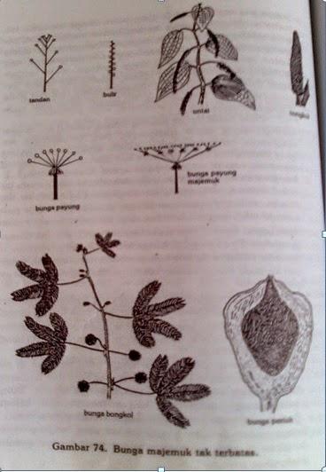 Isnaanjani 2015 ibu tangkai bercabang cabang dan cabang cabangnya dapat bercabang lagi sehingga bunga bunga tidak terdapat pada ibu tangkainya ccuart Choice Image