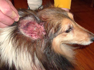 Prevent Ear Infection In Dogs