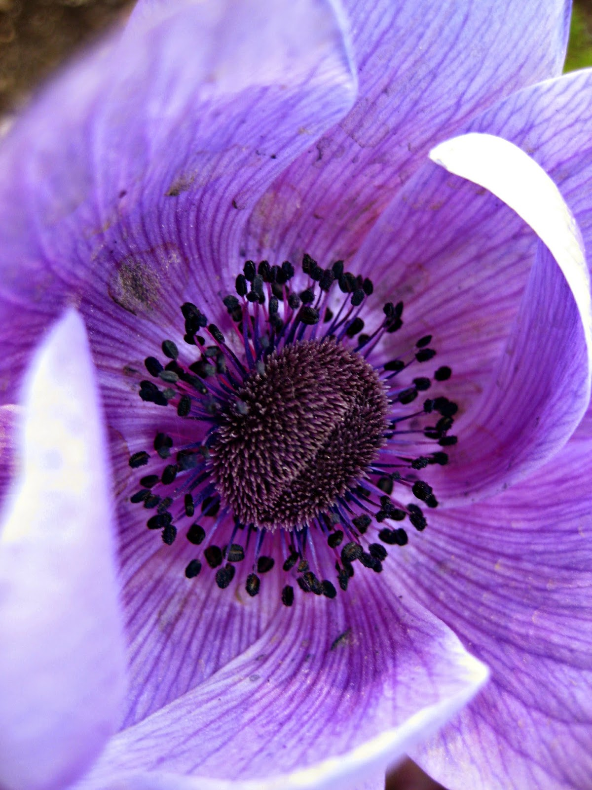 Purple Flower from Geneva by Madder Hatter