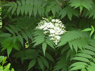 Flowers on Smooth leaf sumac (Rhus glabra)