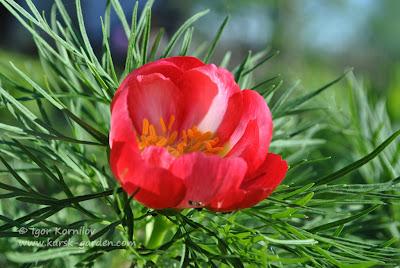 Paeonia tenuifolia rosea