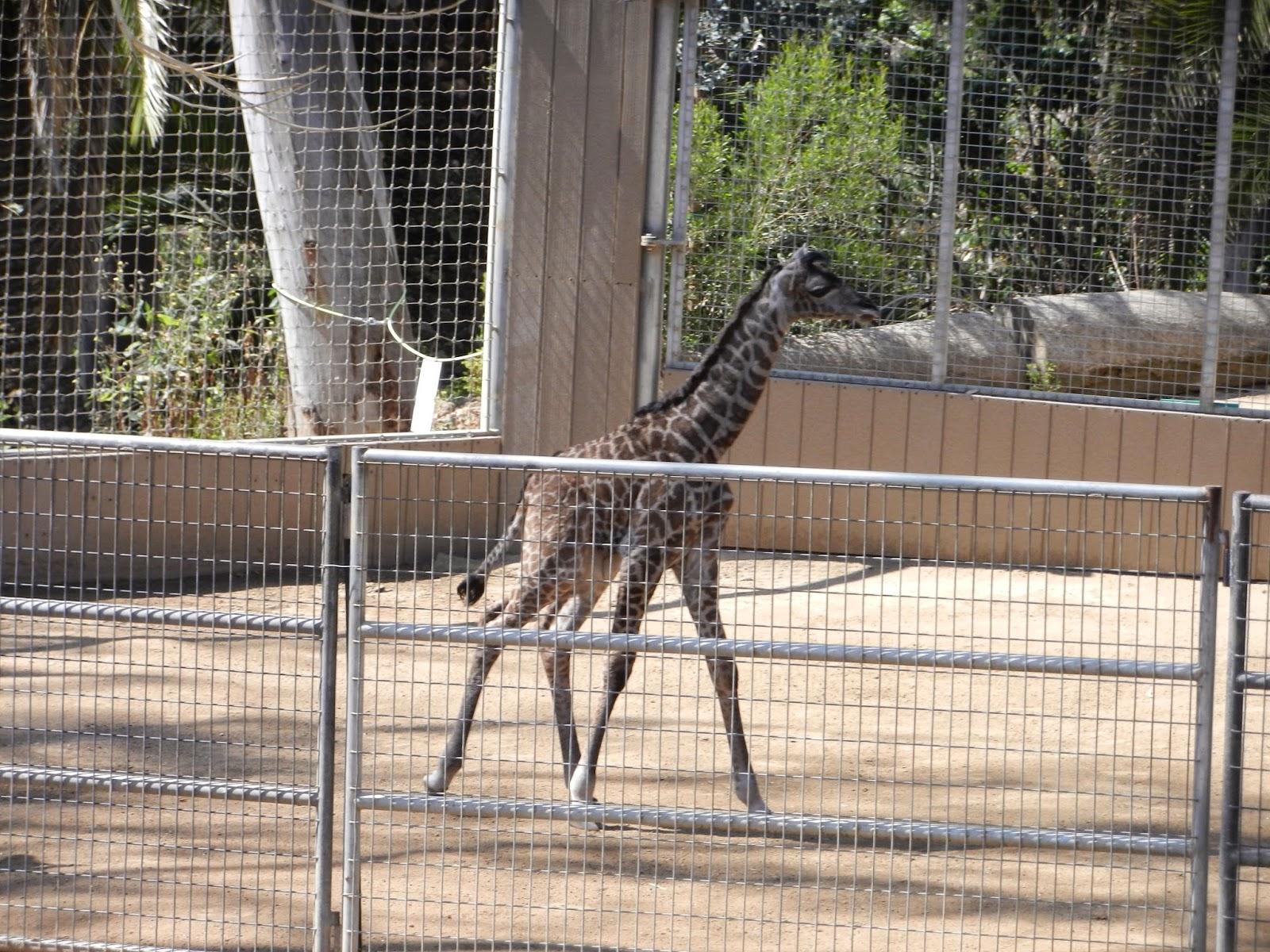 baby giraffe san diego zoo