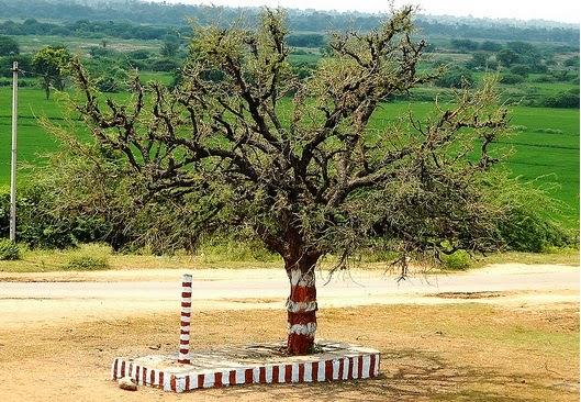 Telangana State Tree Jammi chettu, Telangana tree Prosopis Cineraria.