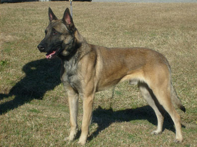 Belgian Malinois (The Protection Dogs)