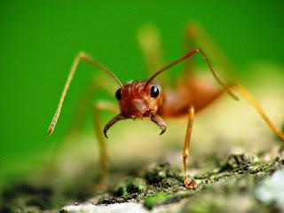 semut rangrang, budidaya semut rangrang, budidaya kroto