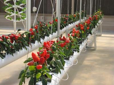 Usaha sampingan bidang pertanian sayuran/buah organik